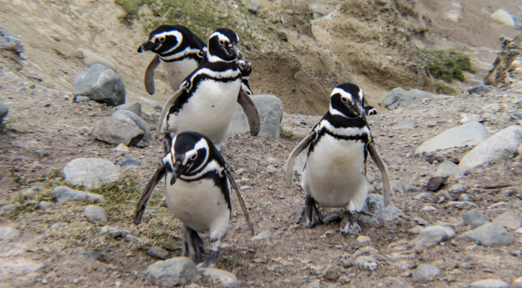 Penguins in Chile